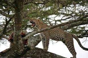 leopard_7f