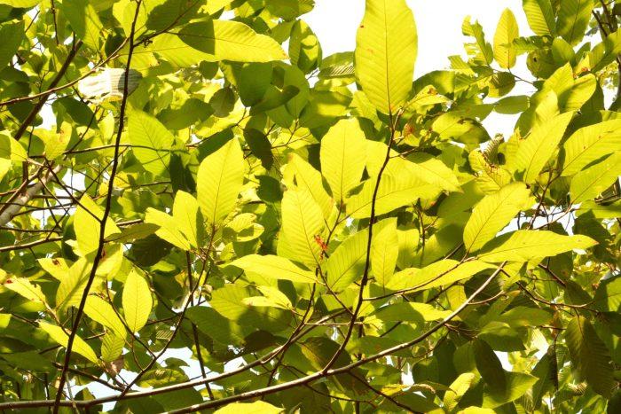 Gurjum Balsam Essential Oil