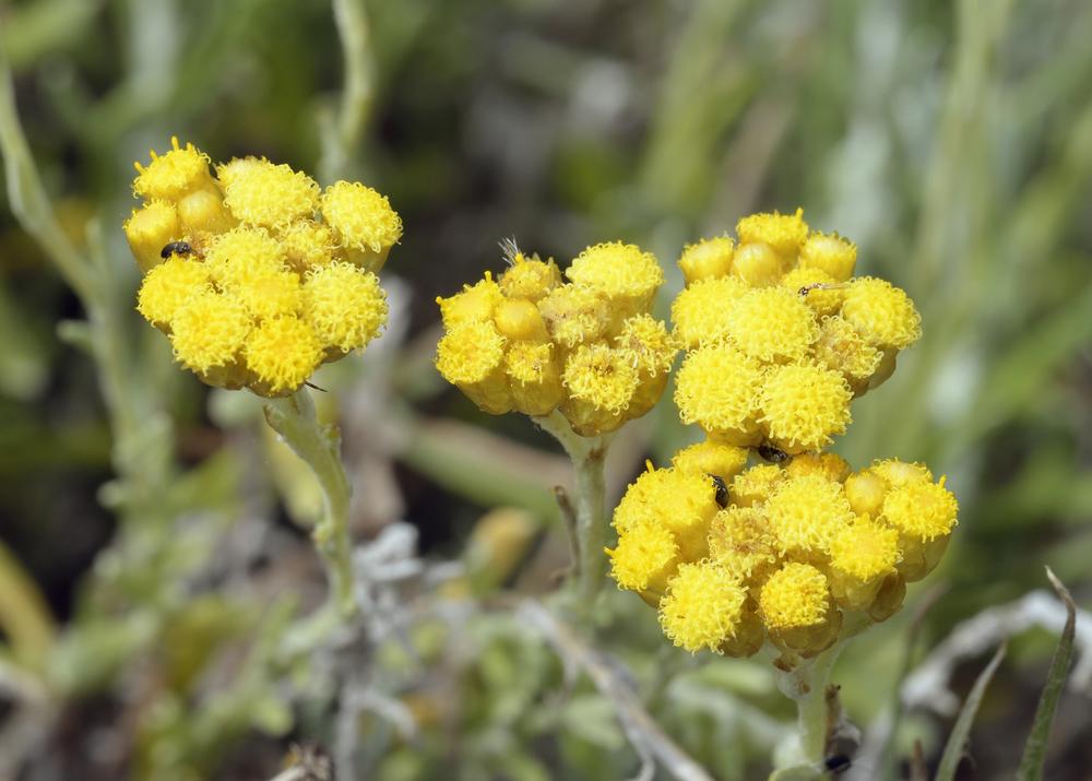 Organic Helichrysum Essential Oil