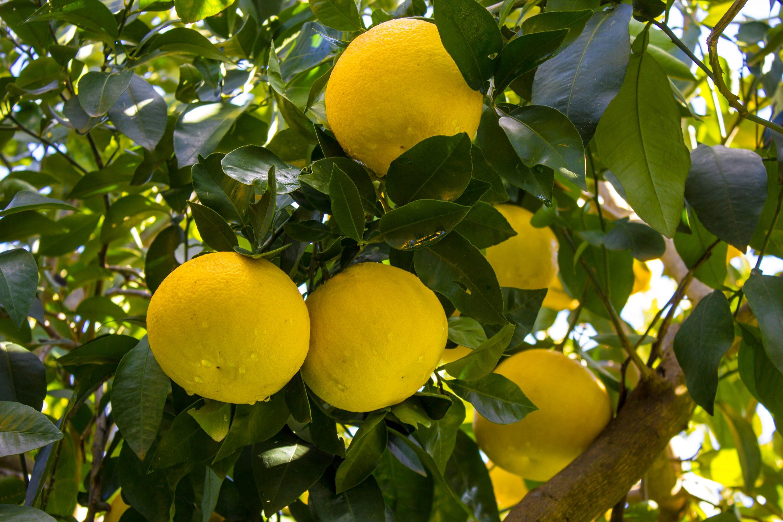 Grapefruit white essential oil