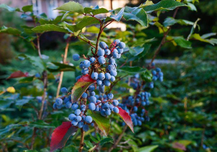 Juniper berry Essential Oil