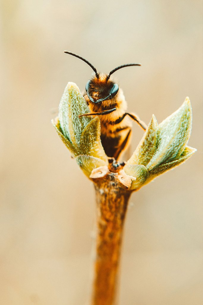 Honey Bee collecting nectar from plant.