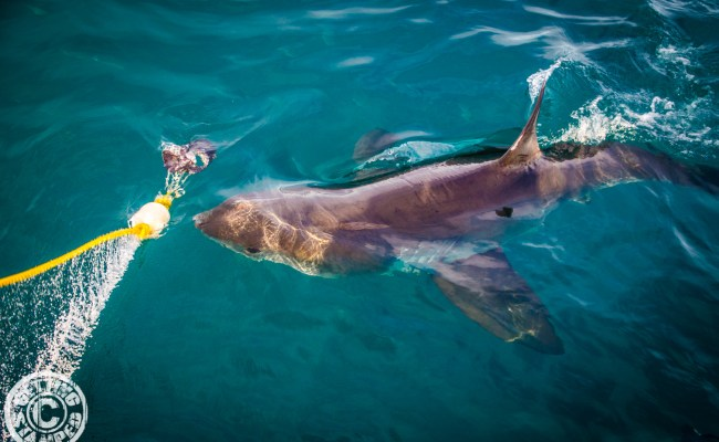 Great White Shark Cage Diving Cape Town Youtube - Cuitan