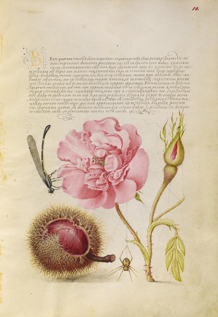 damselfly french rose spanish