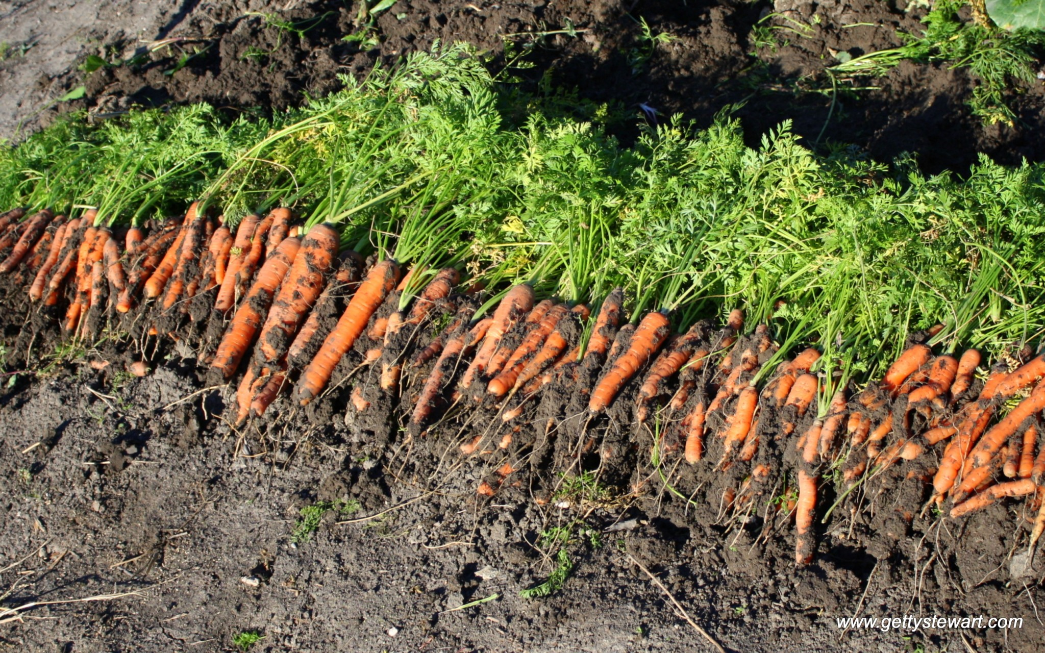 How To Plant Carrots Gettystewart Com