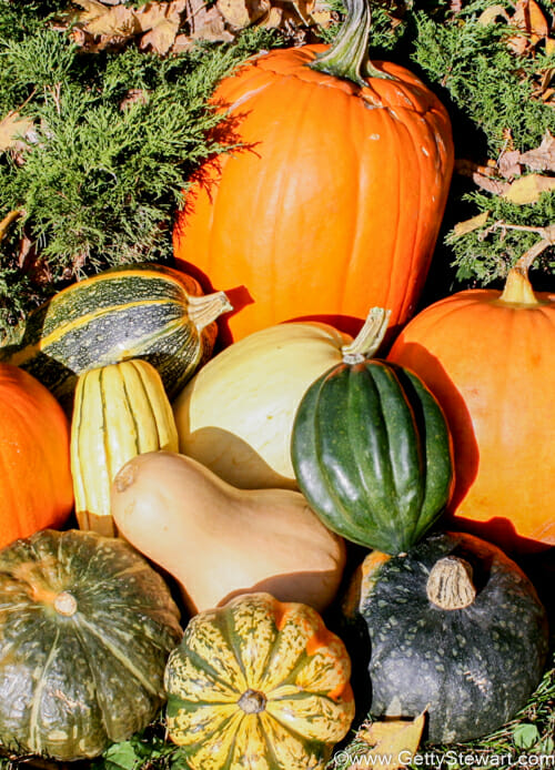 How to Identify Harvest and Store Pumpkins  Winter Squash