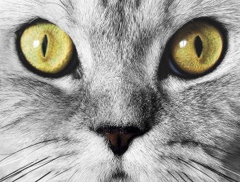 The muzzle of gray cat with green eyes close-up