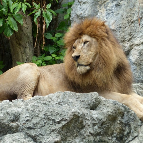Lions, Tigers, and Akron Zoo Review oh my! Ready for this mama? Did you know that the Akron, Ohio Zoo has more than 700 animals? My kids were in awe! You have Penguins, Monkeys, Bears, and so many more animals to visit.