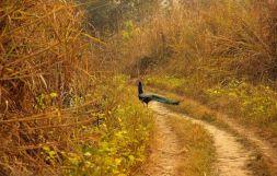 ChitwanJeepSafari35