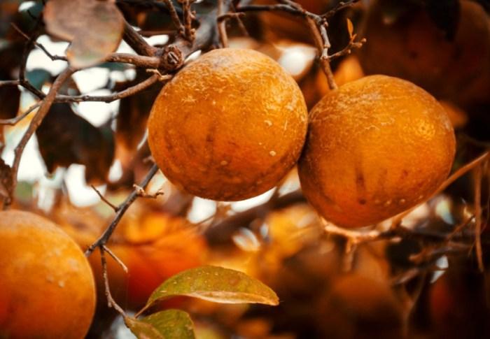 Recept: Gesuikerde sinaasappelschillen