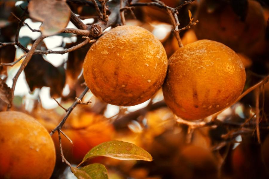Sinaasappels aan een boom