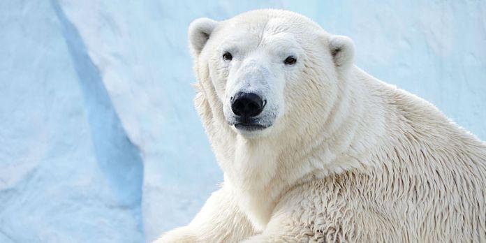 Symbolbild: Eisbär