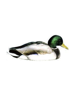 "Mallard Magnet or Sticker for Indoor or Outdoor Use 8.5"" x 3.5"""