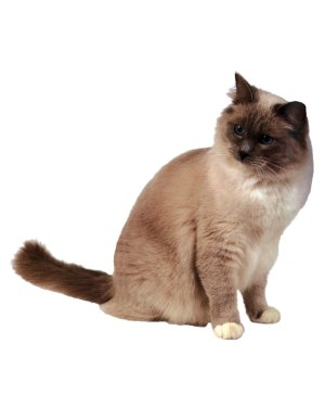 """Siamese Cat Magnet or Sticker for Indoor or Outdoor Use 7"""" x 6"""""""