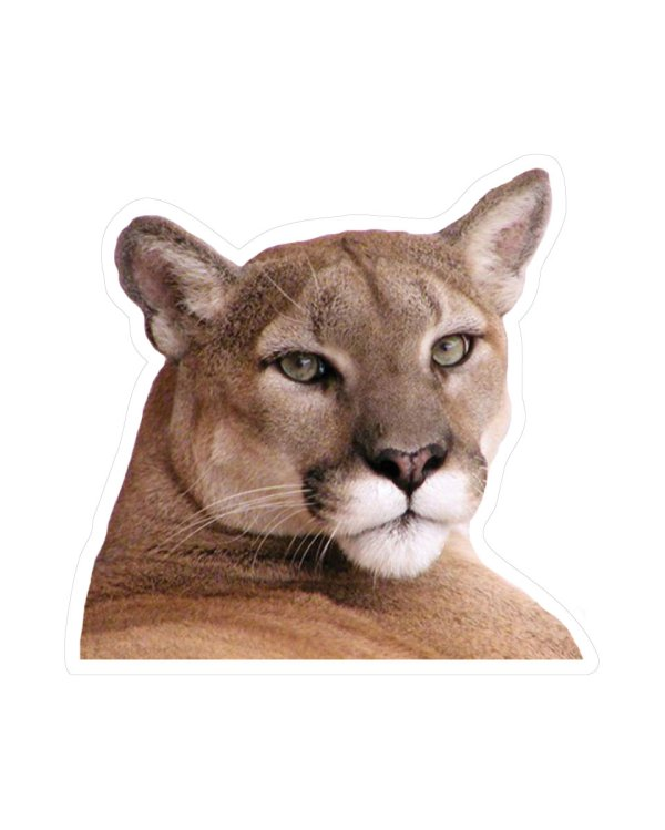 "Cougar Magnet or Sticker for Indoor or Outdoor Use 4"" x 4"""