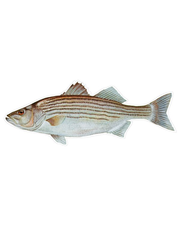 "Striped Bass Magnet or Sticker for Indoor or Outdoor Use 9"" x 3.5"""