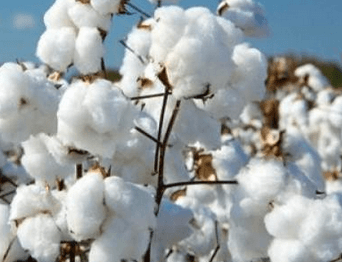 Local chief urges government to find investments for cotton farmers
