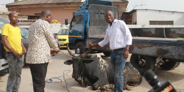 Mr Quansah (right) presenting the cow to Mr Fugar of Multimedia