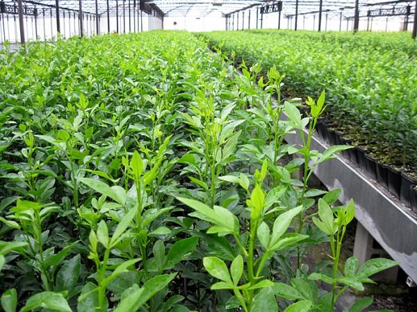 Plant genetic resources research institute Koforidua Ghana  Phone Address