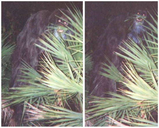 believed image of the florida skunk ape