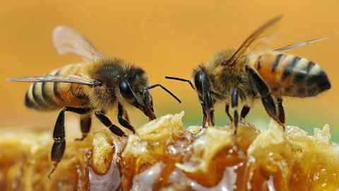 """""""Bee sting to the pen!s can permanently enlarge it"""" – New study proves"""