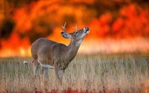 Cervo incendi