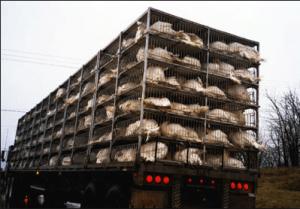 Trasporto animali da macello