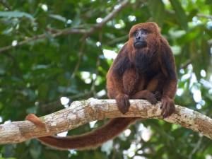 """La scimmia """"Bugio"""" (Alouatta guariba), una delle principali vittime della febbre gialla in Brasile"""