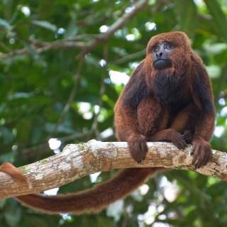 """La scimmia """"Bugio"""" (Alouatta guariba), una delle principali vittime della febbre gialla in Brasile (Foto: Peter Schoen/Wikimedia Commons)"""