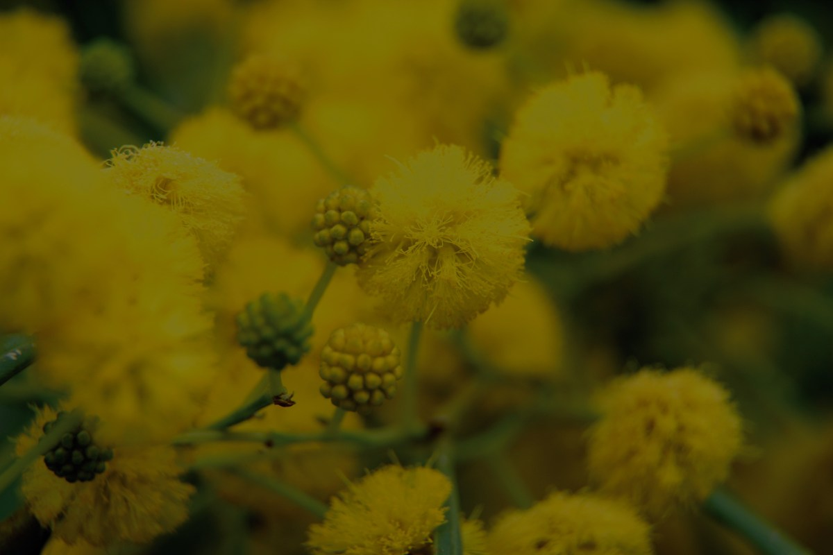 Dark Wattle background