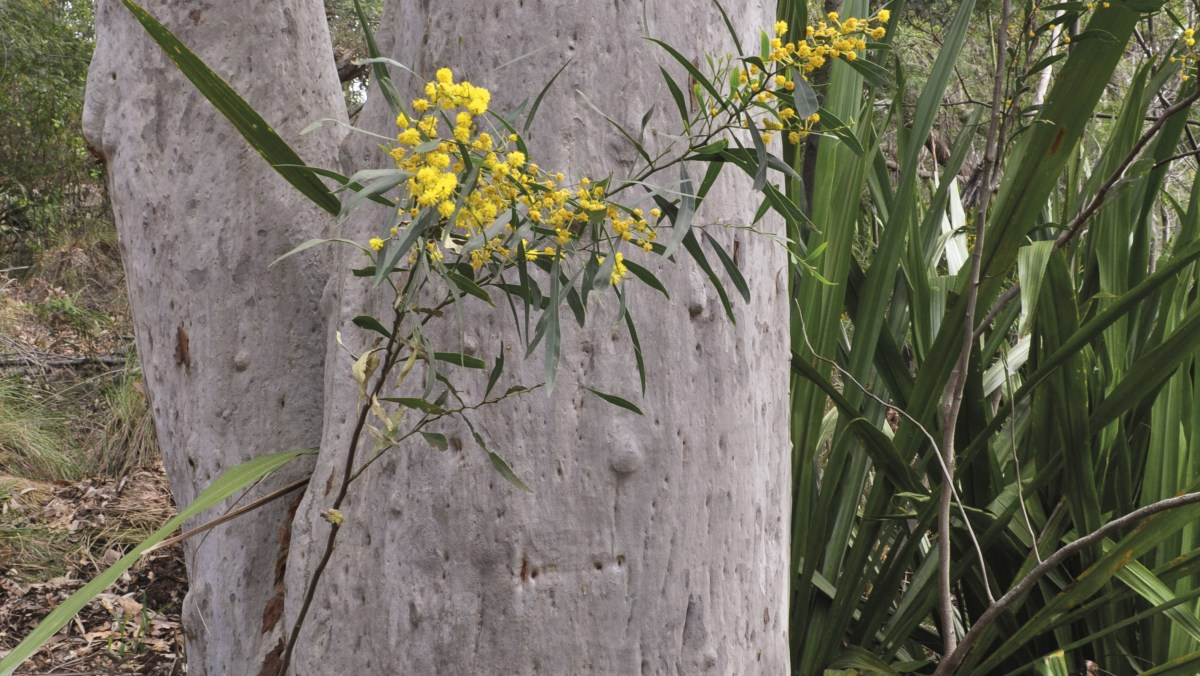 Wattle sprouting near eucalyptus tree