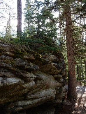 A small evergreen grows from a rock outcropping at the Athabasca Falls in Jasper Park.