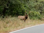 A bull elk grazes next to the road along the northern woodland region of California Highway 1.