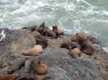 A group of sea lions on the coastal rocks south of Heceta Head Lighthouse State Park.