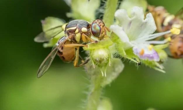 Peach Fruit Fly Eradication Activities – Granada Hills, Porter Ranch, and Northridge