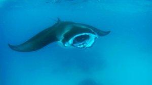 Nuotare con le mante Maldive