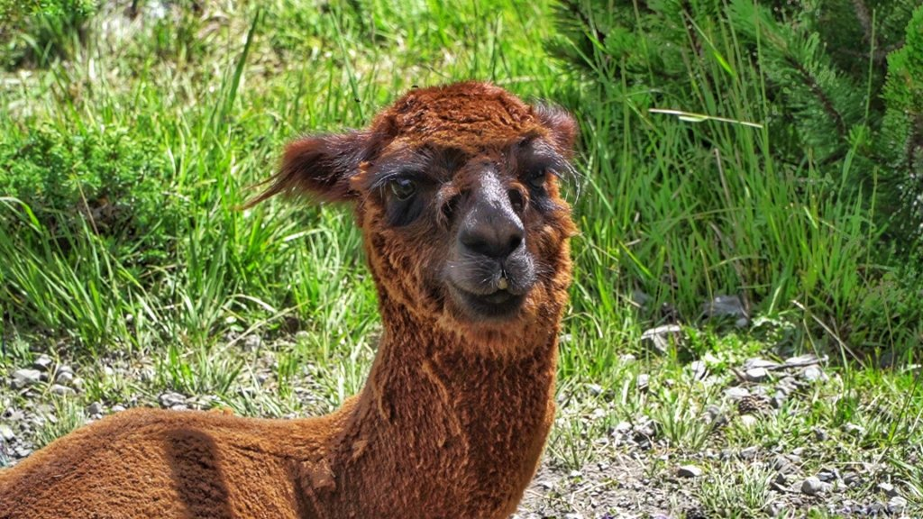 fattorie didattiche alpaca