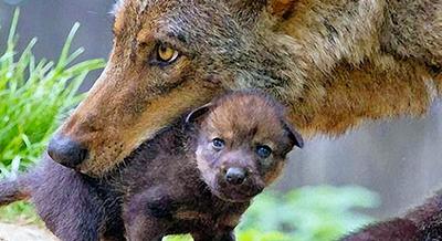il principio indiano della felicità . Due lupi, il capo e il bambino