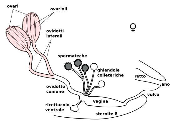Appunti di Entomologia: Ditteri. Glossario di entomologia