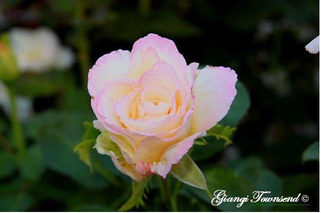 Early-Morning-Rose-copy-8x6.JPG