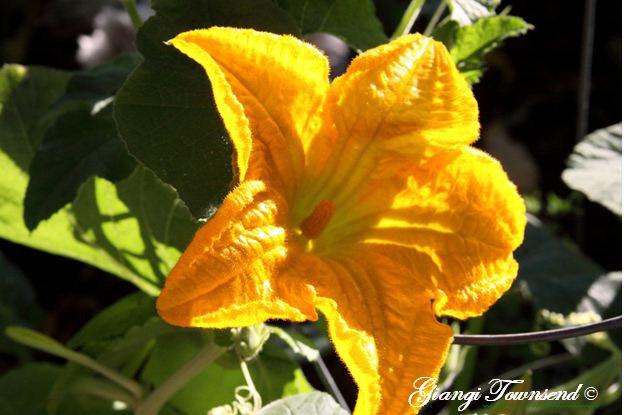 Zucchini-Flowers-copy-8x6.JPG