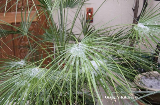 Hail-on-palm-tree-copy-8x6.JPG
