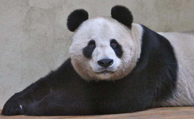 Edinburgh Zoo Panda Cam Online