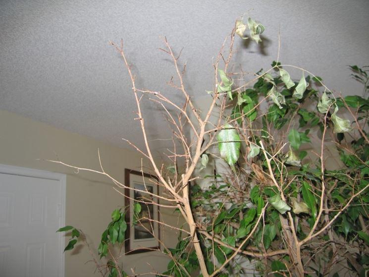 Ficus Benjamin Perdita Foglie Domande E Risposte Piante