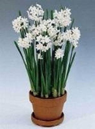 Forzare i fiori di bulbi in inverno  Speciali  Forzare bulbi fiori in inverno  Speciali sul