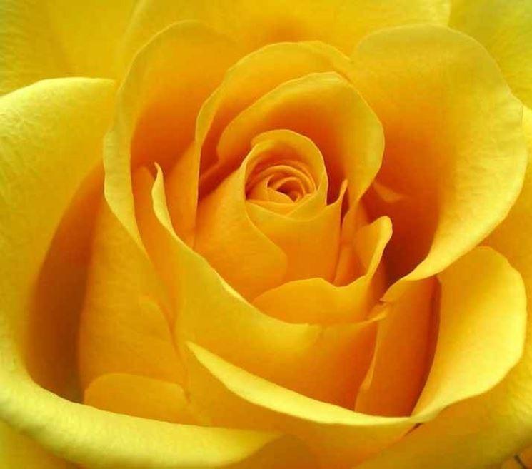 fiori rosa  Fiori delle piante