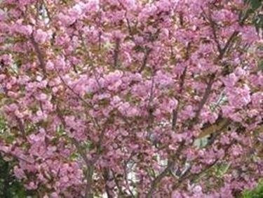 Significato fiori di ciliegio  Linguaggio dei fiori