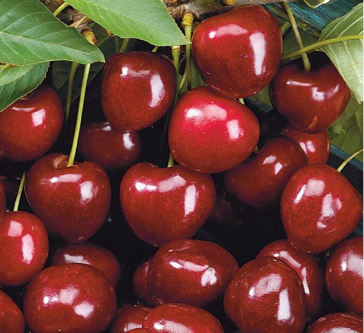 Ciliegio variet  Frutteto  Tipologie di ciliegio