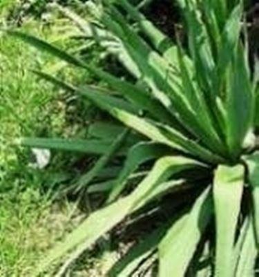 yucca  Domande e Risposte Giardinaggio