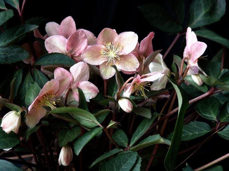 Rose di Natale  Perenni  coltivare rosa di natale